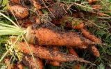 comment cultiver des carottes