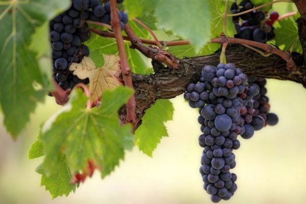 s'occuper d'une vigne dans son jardin