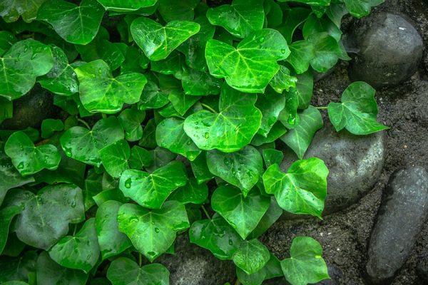 plante grimpante pour cacher un mur