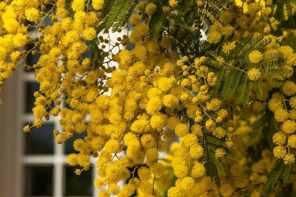 tailler mimosa