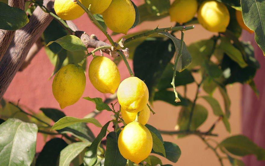 faire pousser un citronnier
