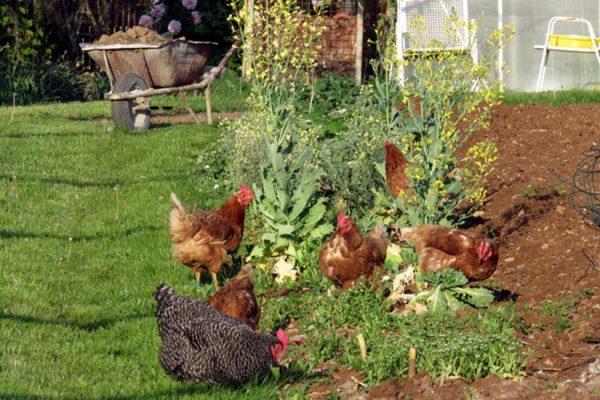 protéger les poules de votre jardin
